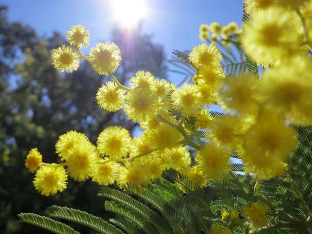 mimosa-tanneron-jaune-flocon