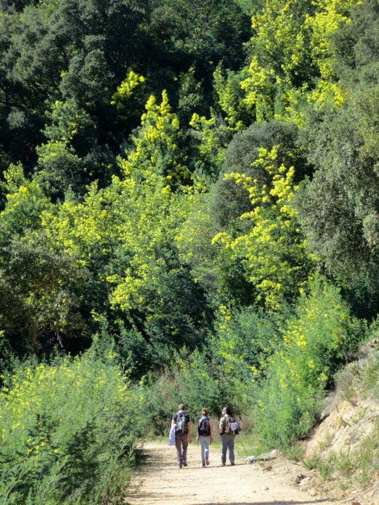 mimosa-tanneron-jaune-rando-jaune