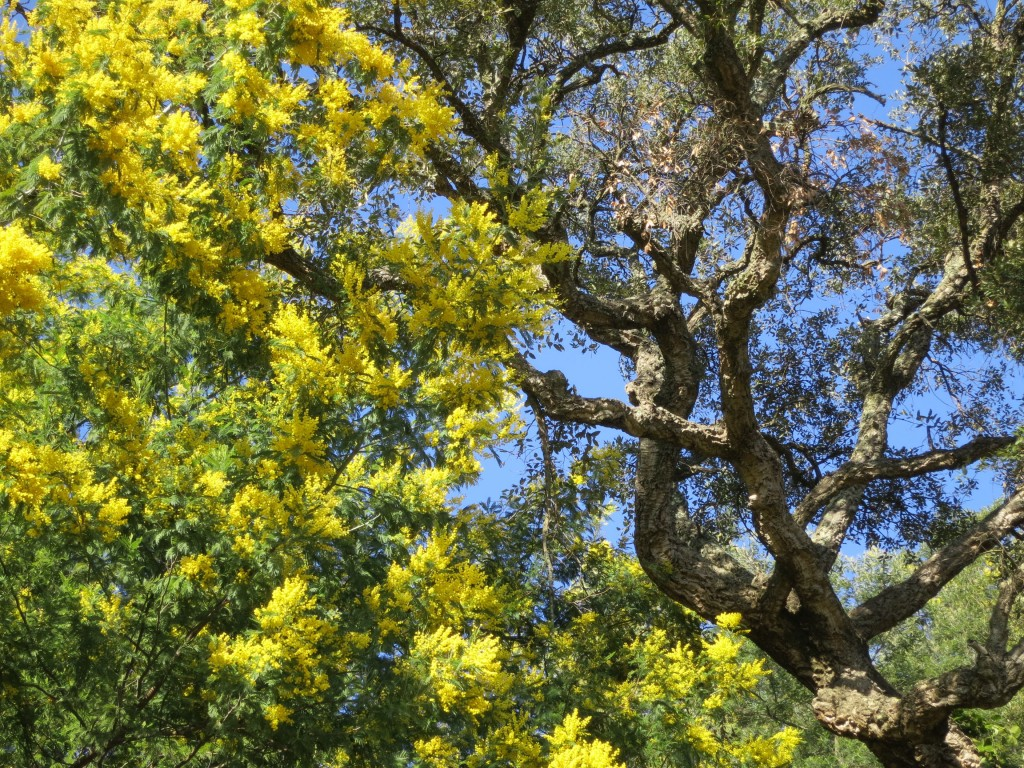 mimosa-tanneron-jaune-route-chene