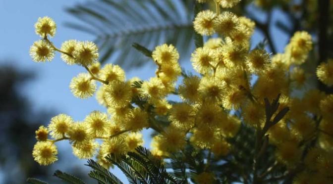 Le mimosa : l'or jaune de la Côte d'Azur
