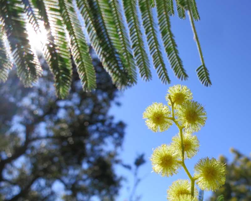 mimosa seebyc
